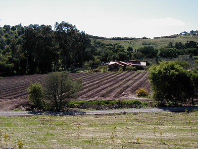 4/21/2001 - Looking West at blueberry rows and the house with meyer lemons in the foreground.